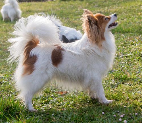 ancredasia-elevage-chien-liège-papillon-yakusa-liege-Grâce-Hollogne13