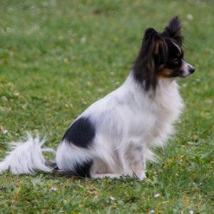 ancredasia-elevage-chien-liège-papillon-yakusa-liege-Grâce-Hollogne20