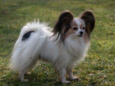 ancredasia-elevage-chien-liège-papillon-yakusa-liege-Grâce-Hollogne9